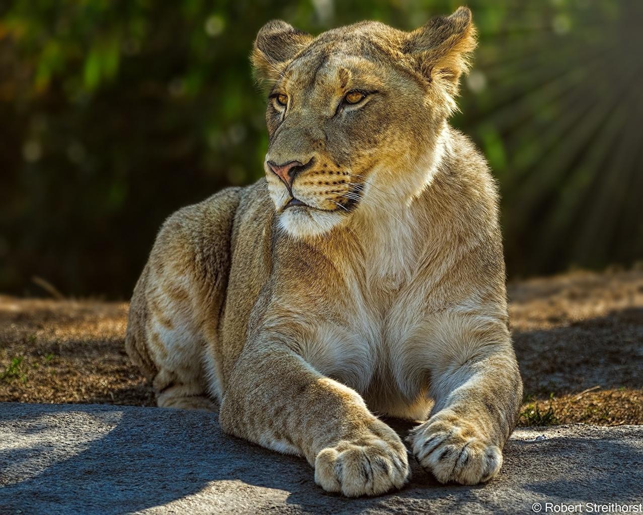 Фото Львы Львица лежа Лапы Животные лев Лежит лежат лежачие лап животное