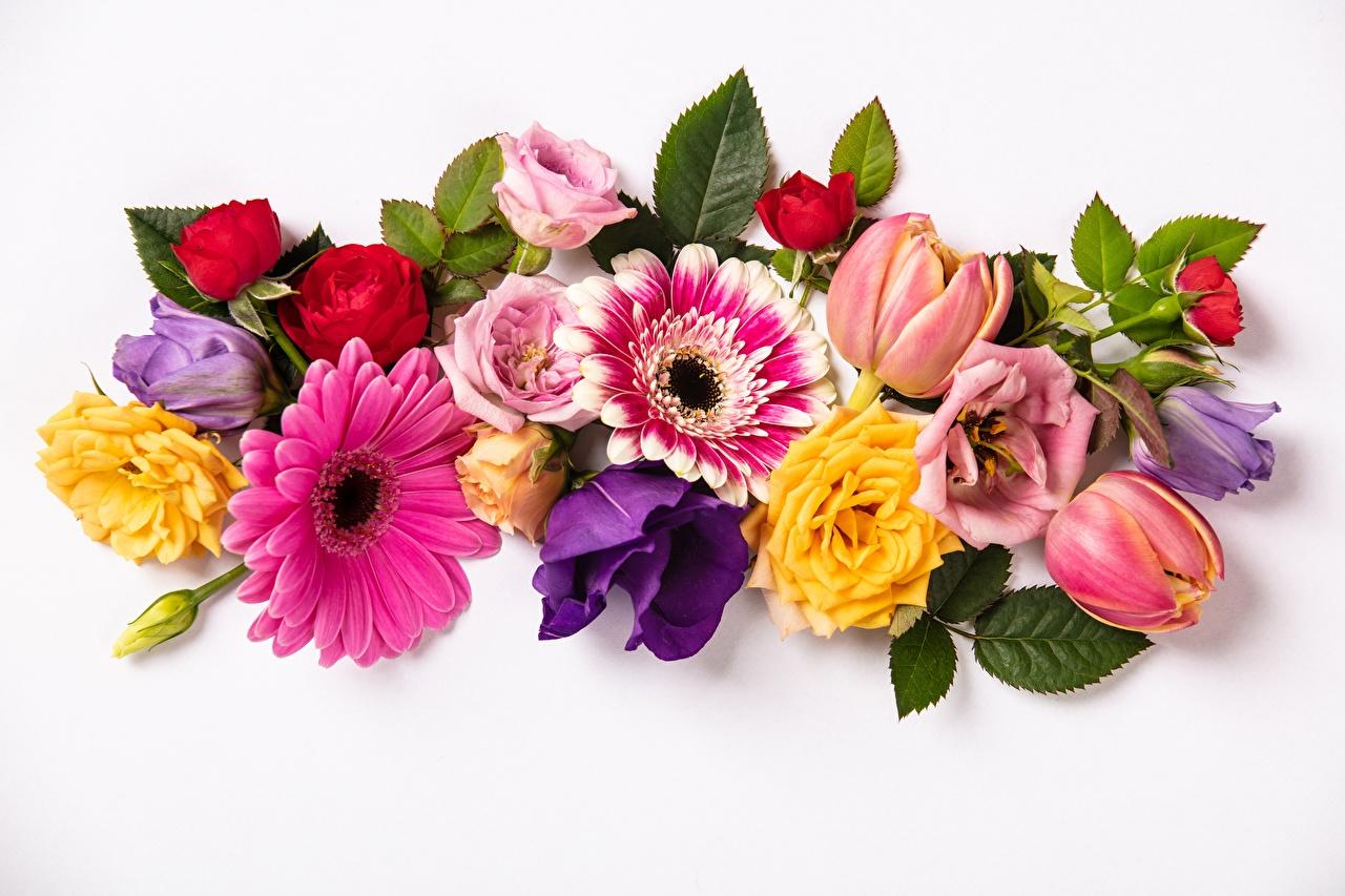 Картинка Розы гербера Тюльпаны цветок белом фоне роза Герберы тюльпан Цветы Белый фон белым фоном
