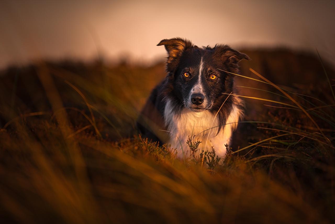 Фото Бордер-колли собака Трава Вечер смотрят Животные Собаки траве Взгляд смотрит животное