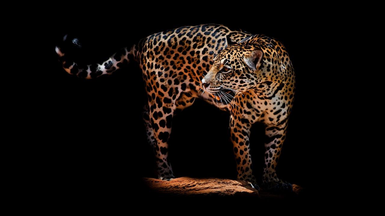 Фотографии Леопарды Животные на черном фоне леопард животное Черный фон