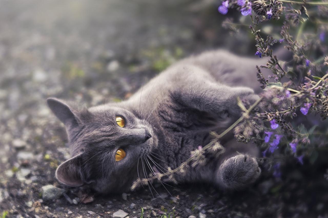 Картинка Кошки лежа серая лап Животные кот коты кошка Лежит лежат лежачие Серый серые Лапы животное