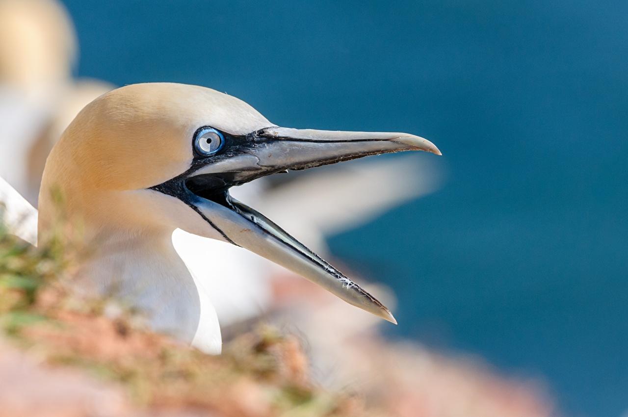 Фотографии птица Northern gannet Клюв Голова Животные Крупным планом Птицы вблизи головы животное