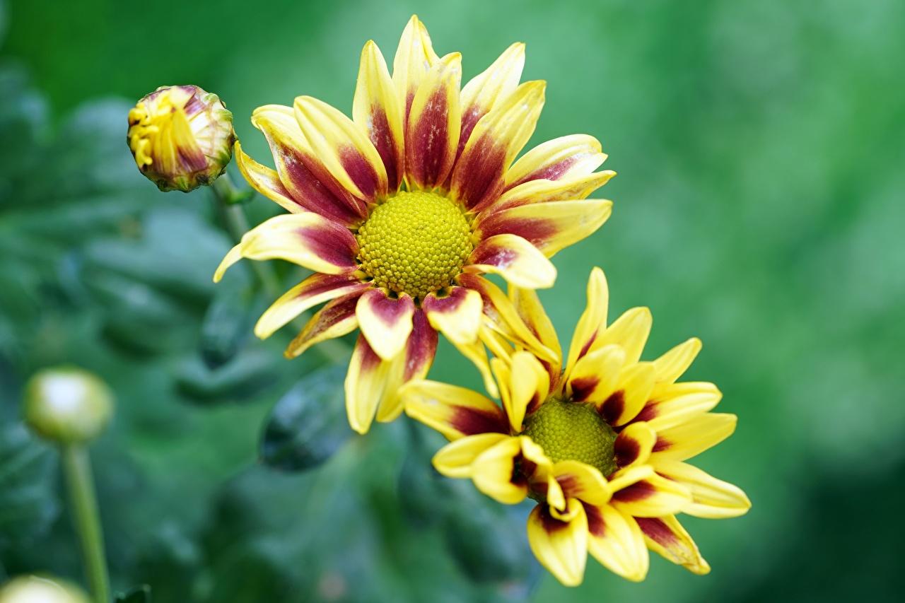Фото Размытый фон Желтый Цветы Газания Бутон боке желтая желтые желтых цветок