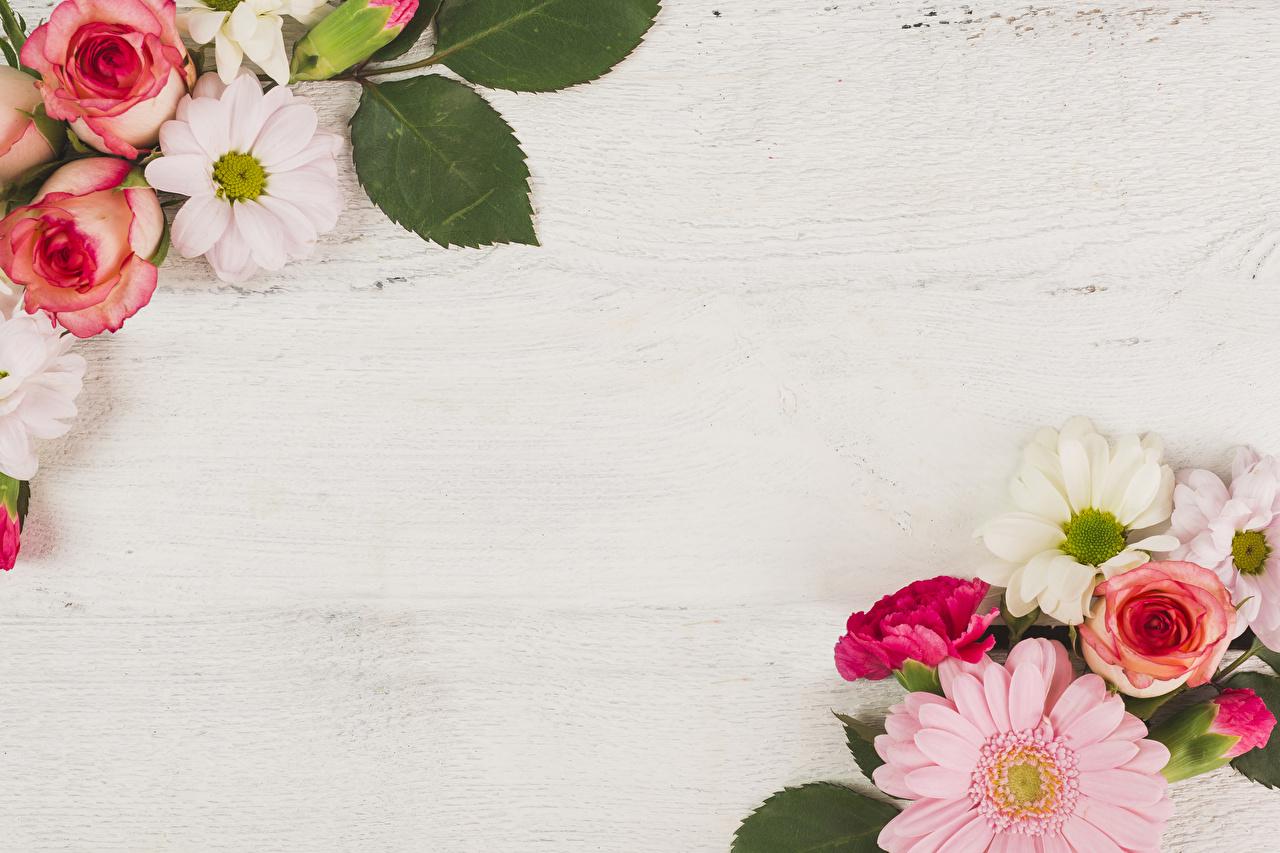 Обои для рабочего стола Розы гербера Цветы роза Герберы цветок