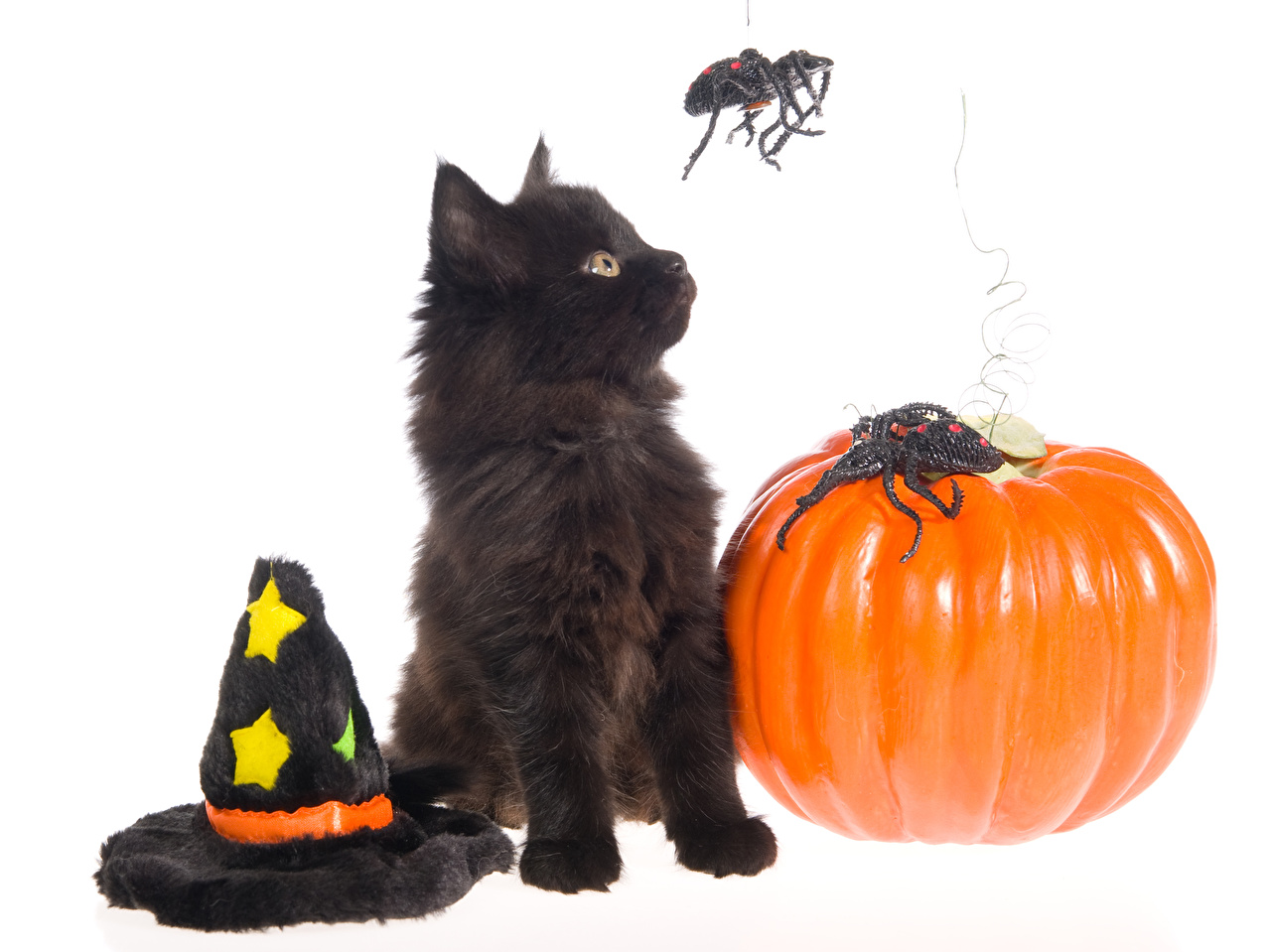 Картинки Котята Коты Пауки Шляпа Тыква Хеллоуин Животные Белый фон Праздники Кошки