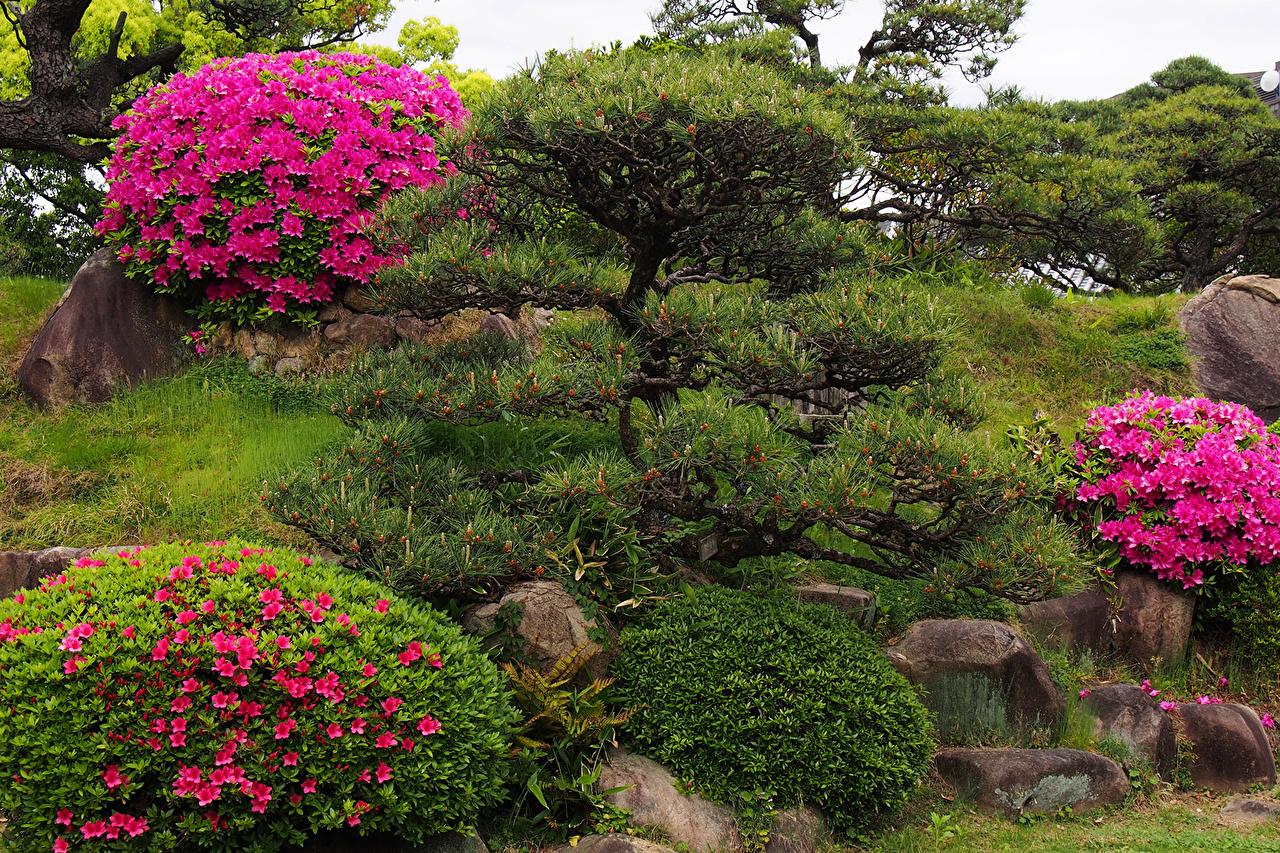 Обои рододедрон, кусты, парки. Цветы foto 8