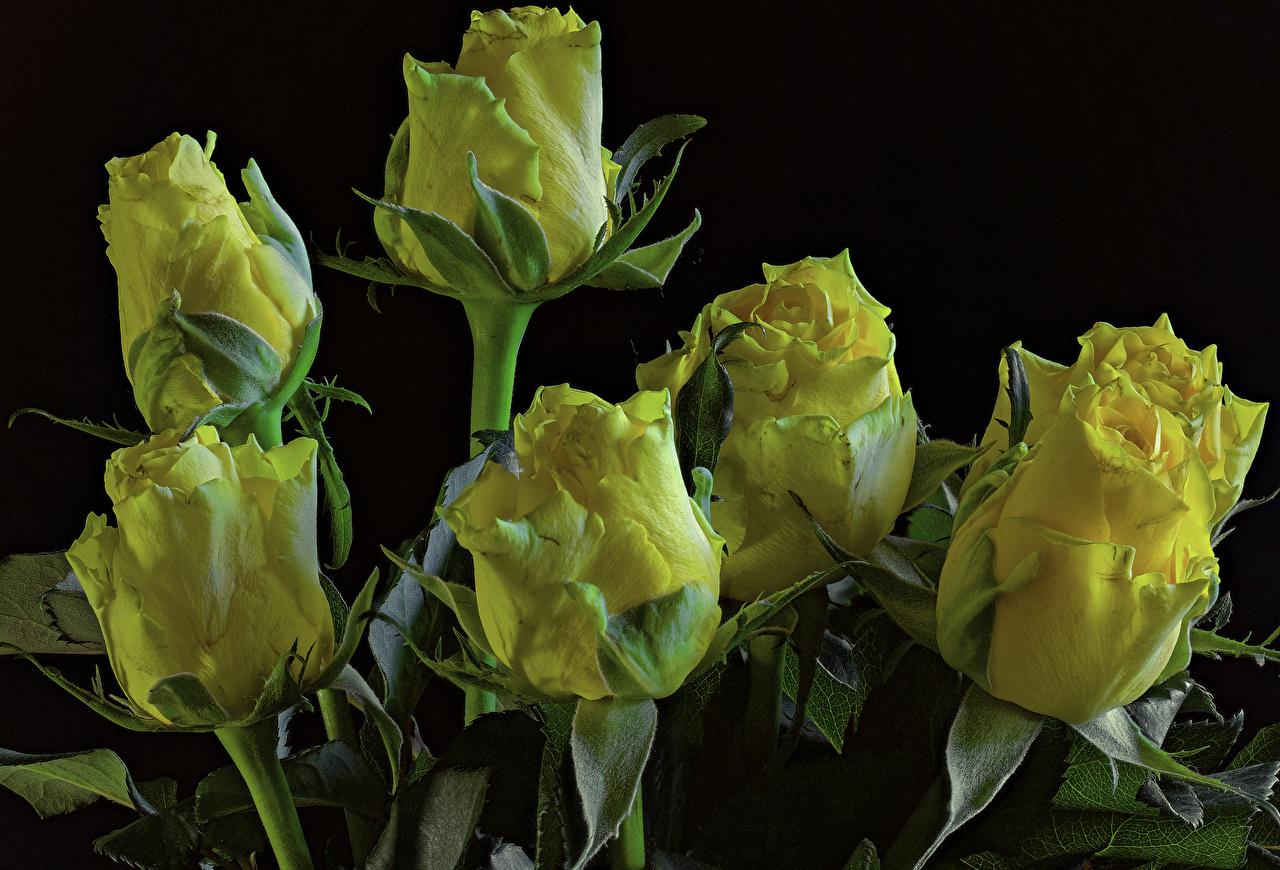 Фотографии Розы Желтый Цветы вблизи Черный фон Крупным планом