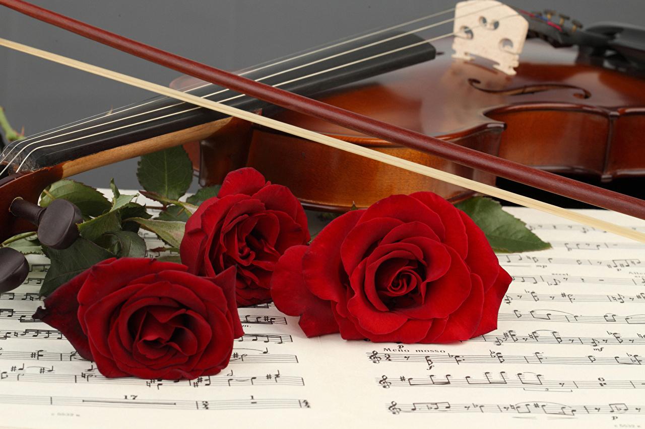 Обои для рабочего стола Скрипки Ноты роза красная цветок Трое 3 скрипка Розы Красный красные красных Цветы три втроем