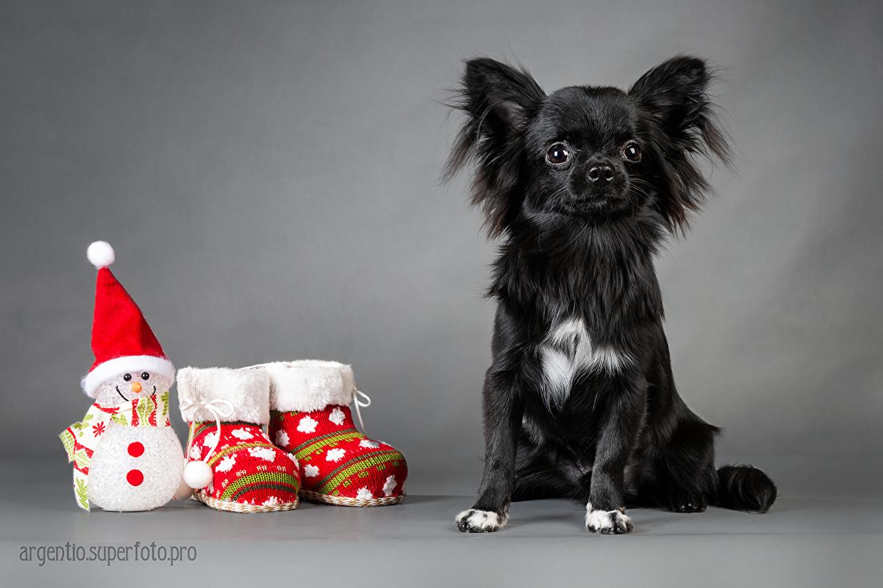 Фото Чихуахуа Собаки Russkiy Toy ботинка снеговик Животные собака Ботинки ботинках Снеговики снеговика животное
