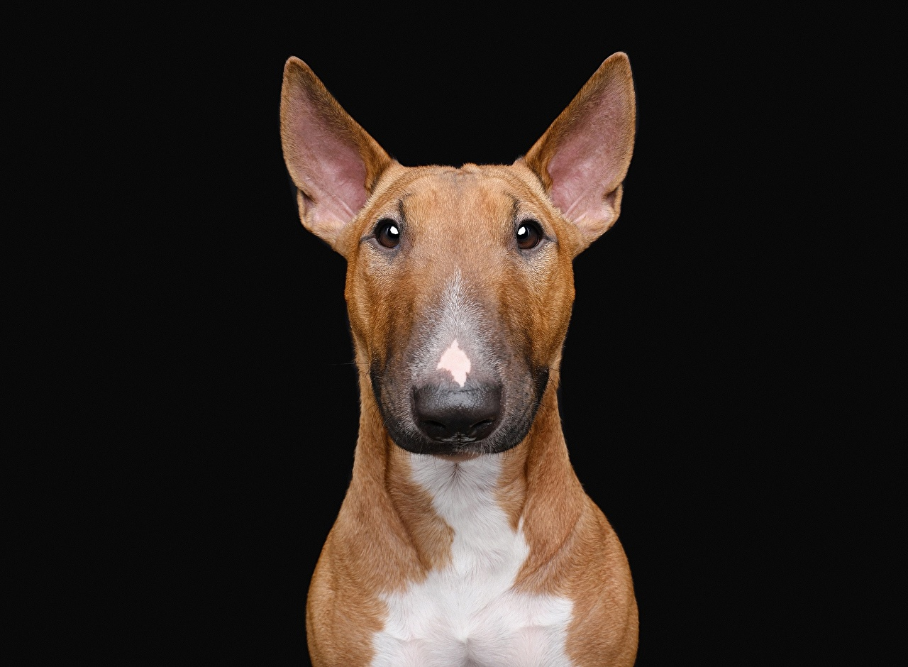 Фотографии Бультерьер Собаки Животные на черном фоне собака животное Черный фон