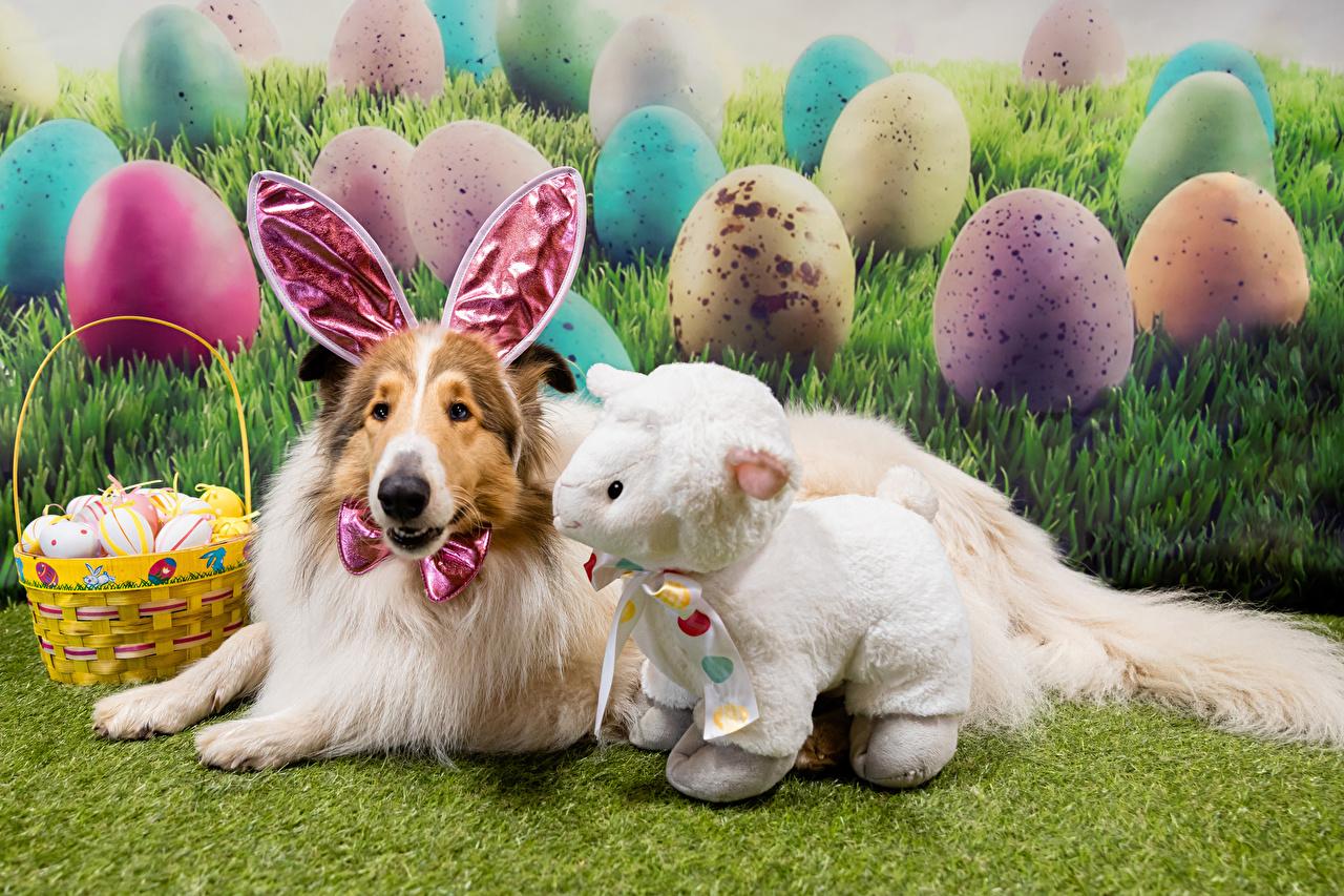 Фото Пасха Колли Овцы собака Ушки кролика Яйца Корзинка Животные Собаки яиц яйцо яйцами Корзина корзины животное