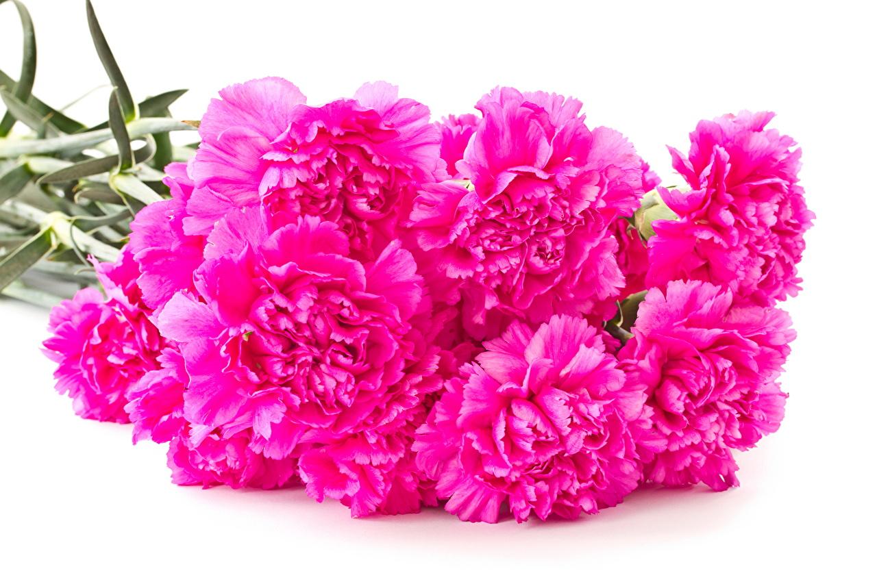 Фотографии Розовый Цветы Гвоздики Много розовая розовые розовых цветок гвоздика