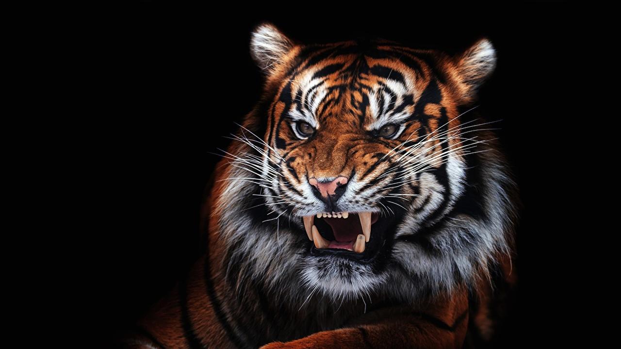 Обои Тигры Клыки злой Усы Вибриссы морды Животные Черный фон рычит Оскал злость Морда