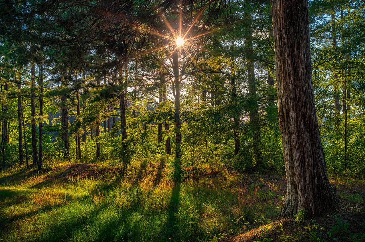 Картинки Лучи света Флорида США Природа Леса Ствол дерева Трава штаты америка лес траве