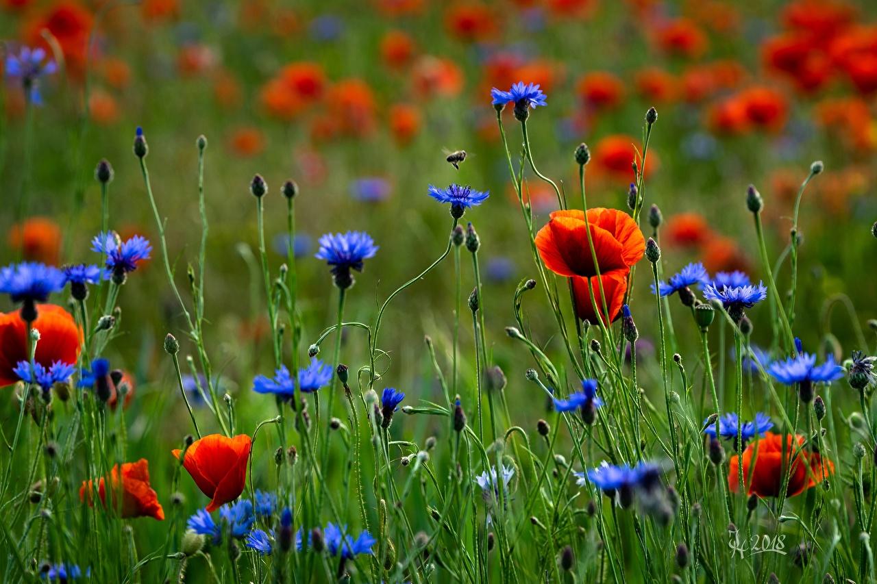 Фото Маки Луга цветок Васильки мак Цветы