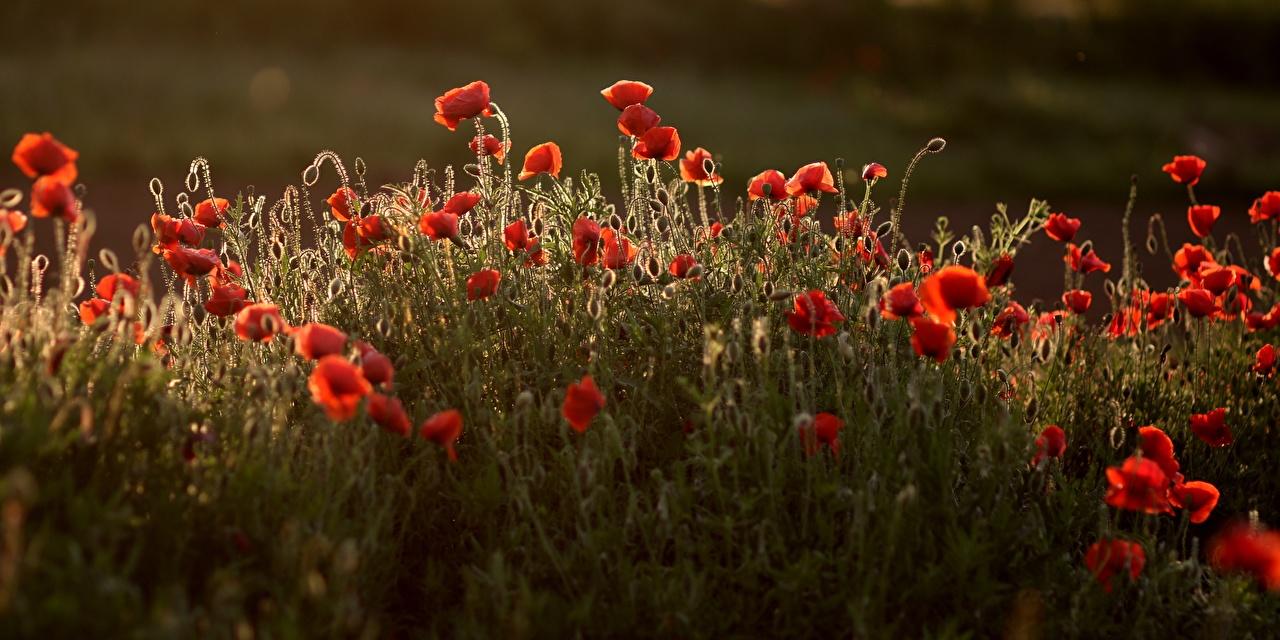 Фото красные мак Цветы Много красная Красный красных Маки цветок