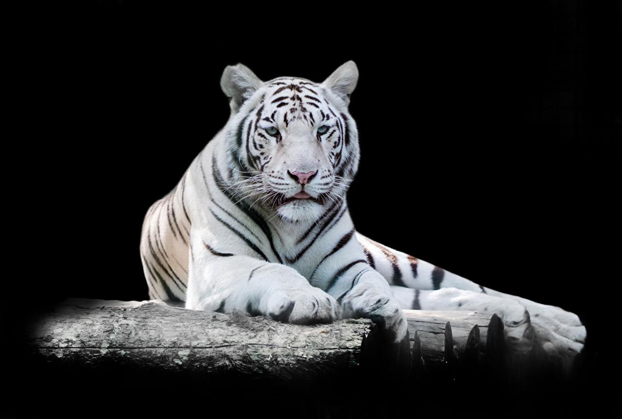 Фотография Тигры белых смотрит Животные на черном фоне тигр Белый белые белая Взгляд смотрят животное Черный фон