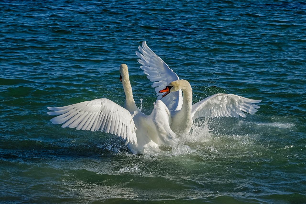 Фотографии птица лебедь Белый вдвоем Брызги Вода Животные Птицы Лебеди 2 два две Двое белая белые белых с брызгами воде животное