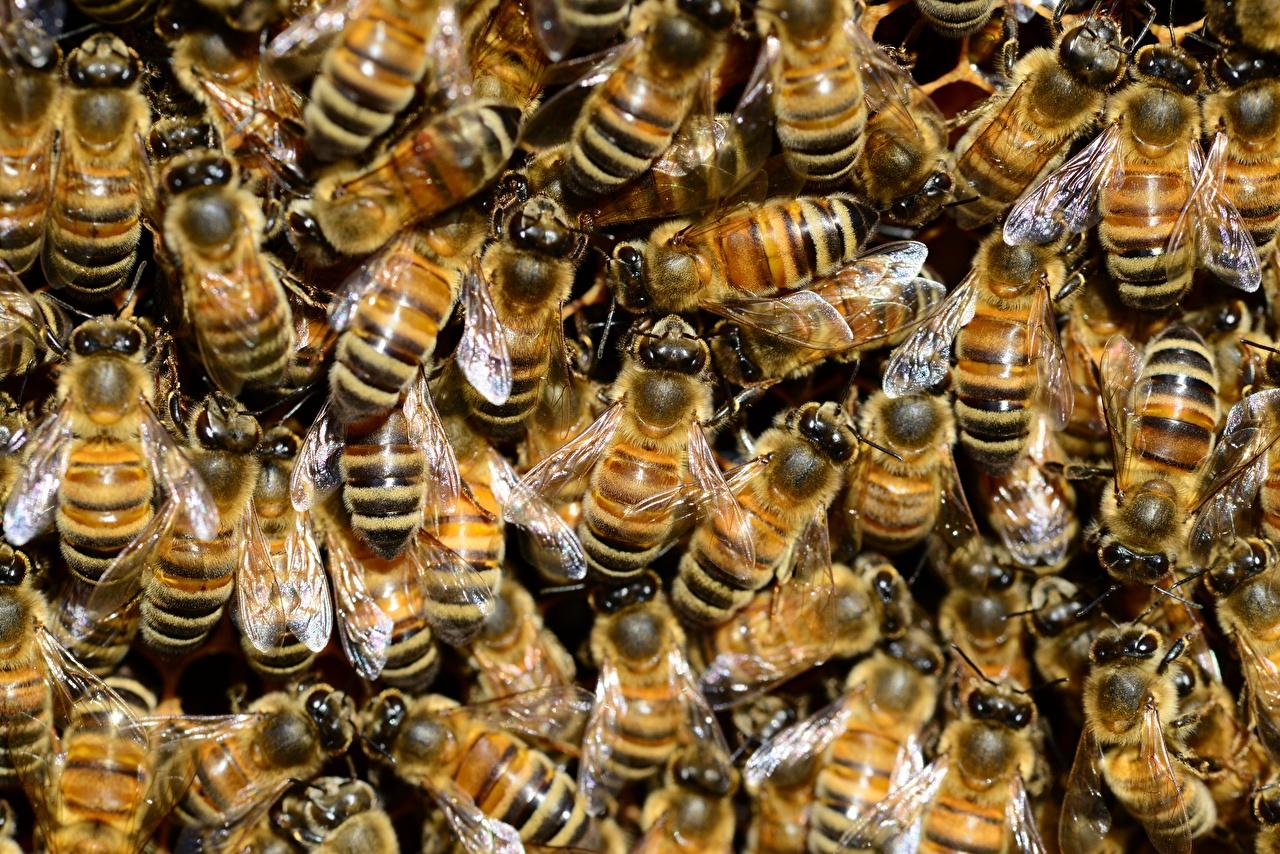 Картинка Пчелы Насекомые Текстура Много Животные насекомое животное