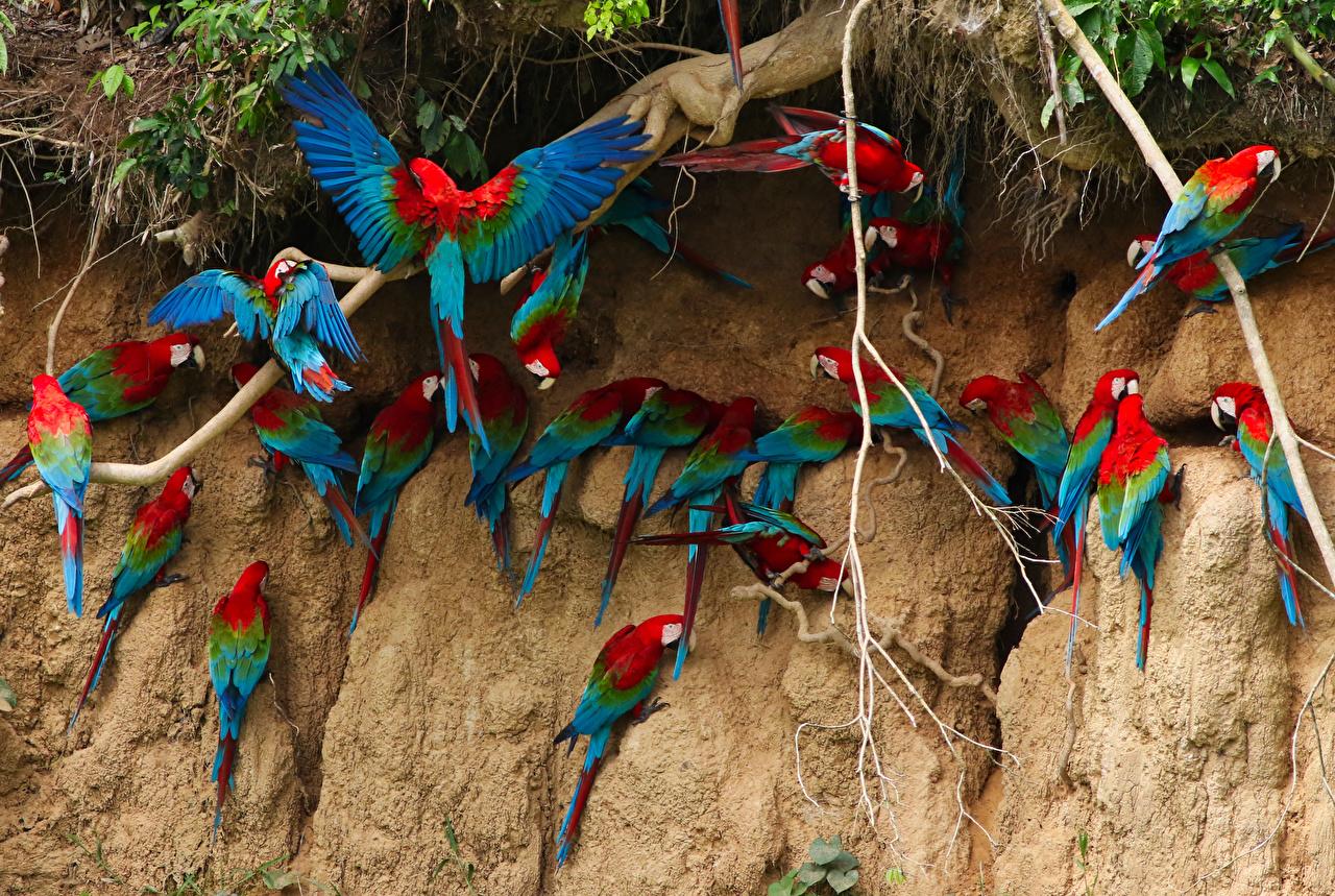 Картинки Птицы Попугаи Много Животные