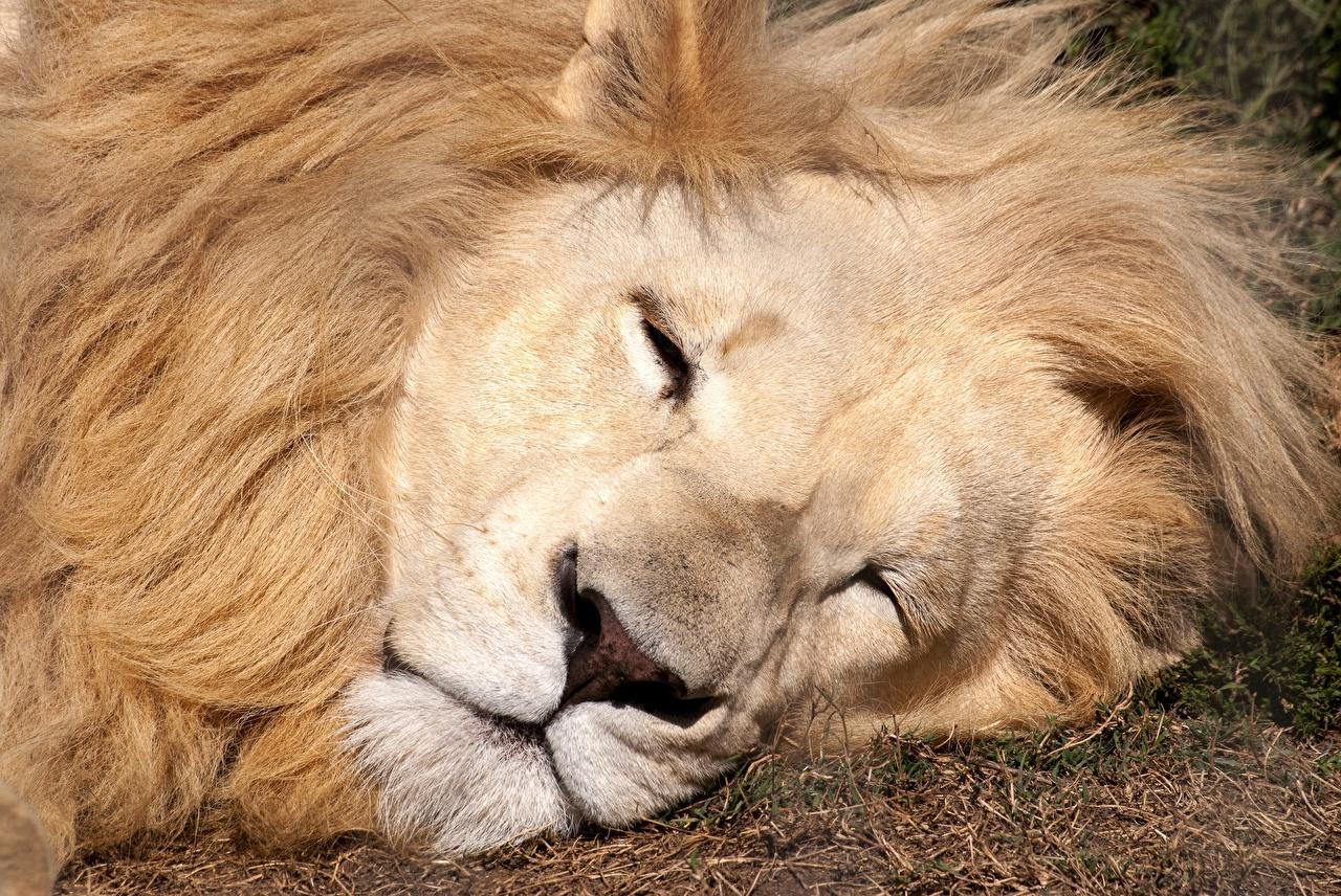Фото Львы спящий Морда животное лев сон Спит спят морды Животные