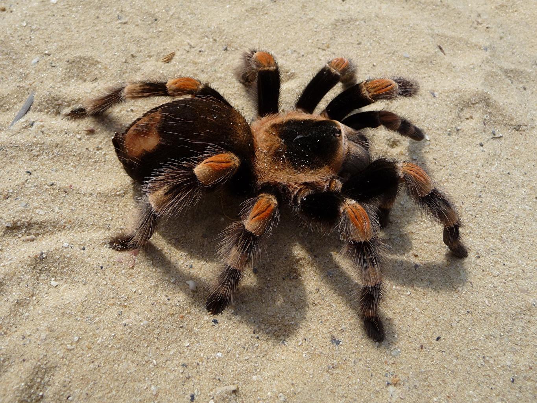 Фотографии Пауки насекомое Red-Kneed Tarantula лап песка вблизи животное Насекомые Лапы песке Песок Животные Крупным планом