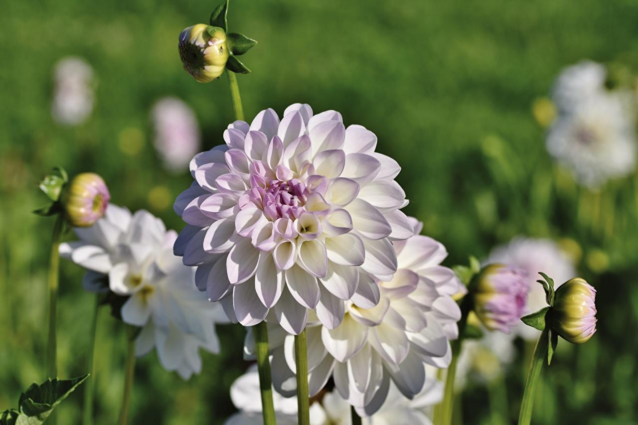Обои для рабочего стола Размытый фон цветок Георгины Бутон Крупным планом боке Цветы вблизи