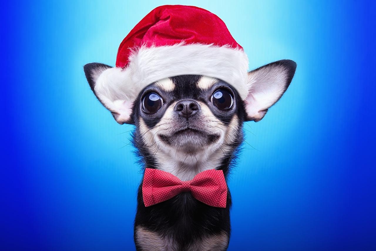 Картинка Русский той терьер Собаки Рождество шапка смотрит животное собака Новый год Шапки в шапке Взгляд смотрят Животные