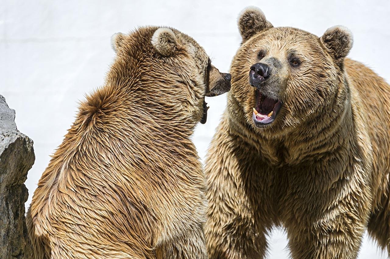 Фотографии Бурые Медведи Медведи два злой Животные Гризли медведь 2 две Двое вдвоем рычит Оскал злость животное