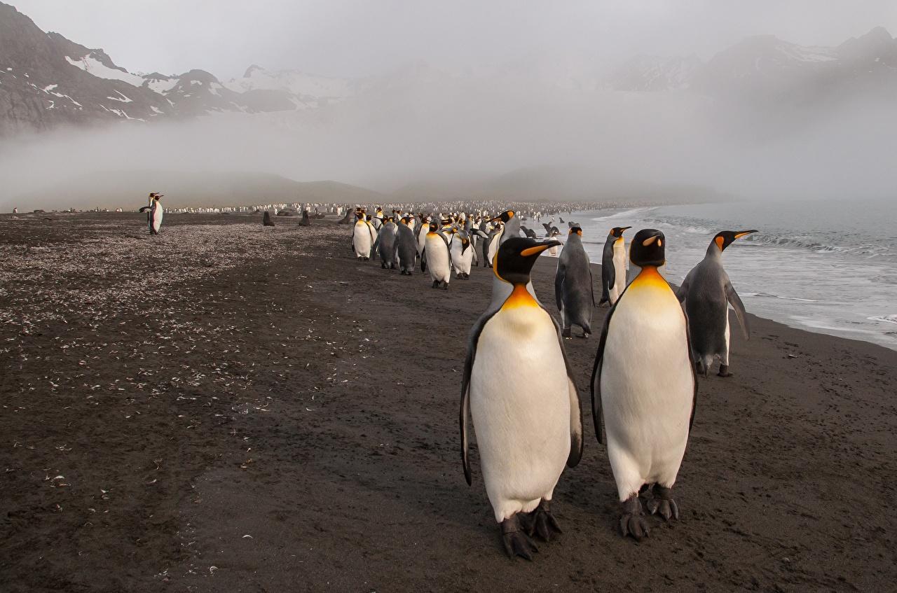 Картинка Пингвины Побережье Много животное берег Животные