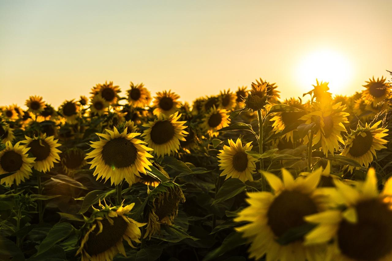 Фото желтая Природа Подсолнечник рассвет и закат Много Желтый желтые желтых Подсолнухи Рассветы и закаты