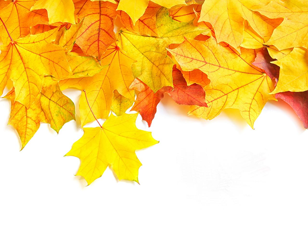 Картинки Листья клёна Осень Природа Крупным планом лист Листва Клён клёновый осенние вблизи
