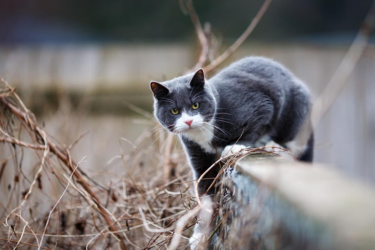 Картинки Кошки Серый Животные Коты