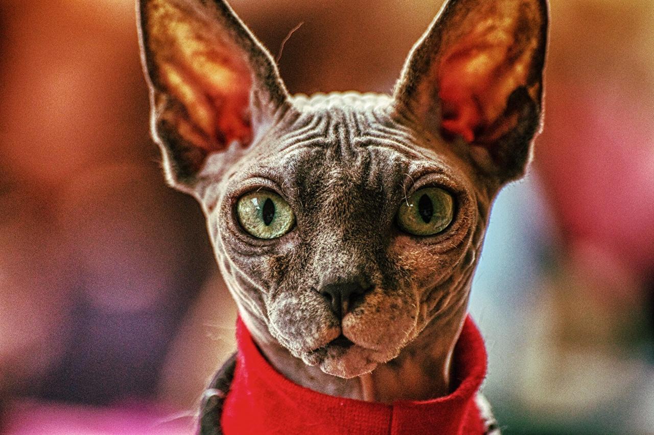 Обои для рабочего стола Сфинкс кошка кот боке Морда Голова смотрит Животные коты кошка Кошки Размытый фон морды головы Взгляд смотрят животное