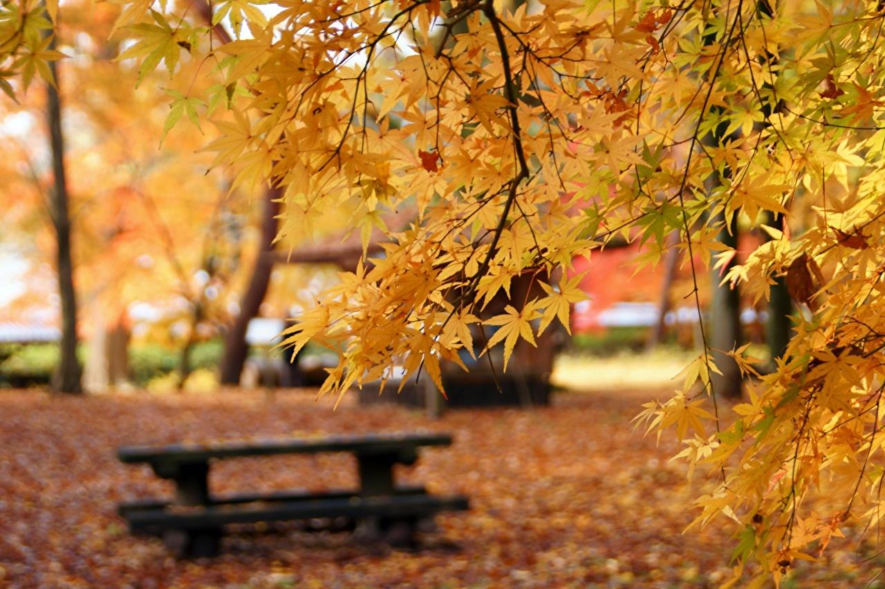 Фотографии боке клёна Осень Природа Ветки Скамейка Размытый фон Клён клёновый осенние ветвь ветка Скамья на ветке