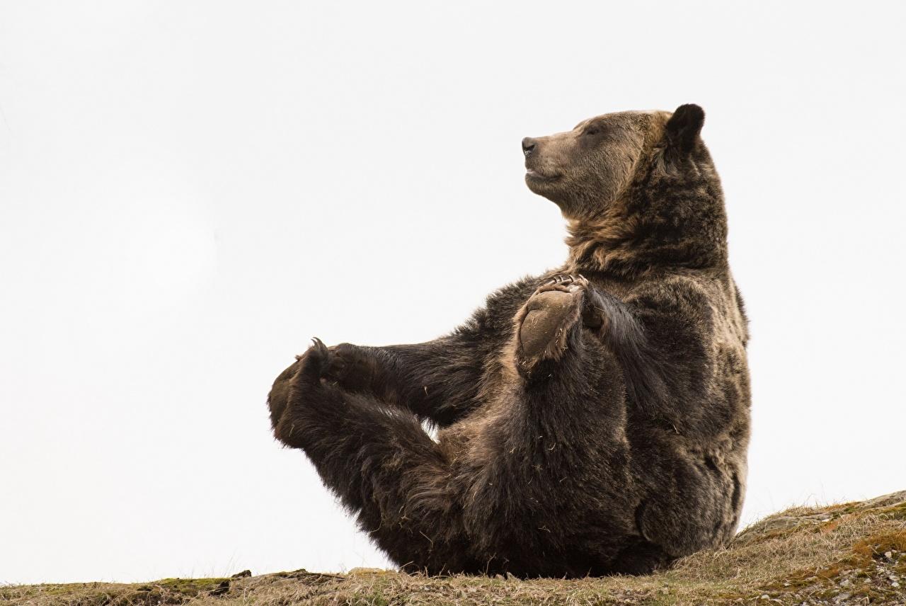 Обои для рабочего стола Бурые Медведи медведь смешная Лапы сидя животное Гризли Медведи смешной Смешные забавные лап Сидит сидящие Животные