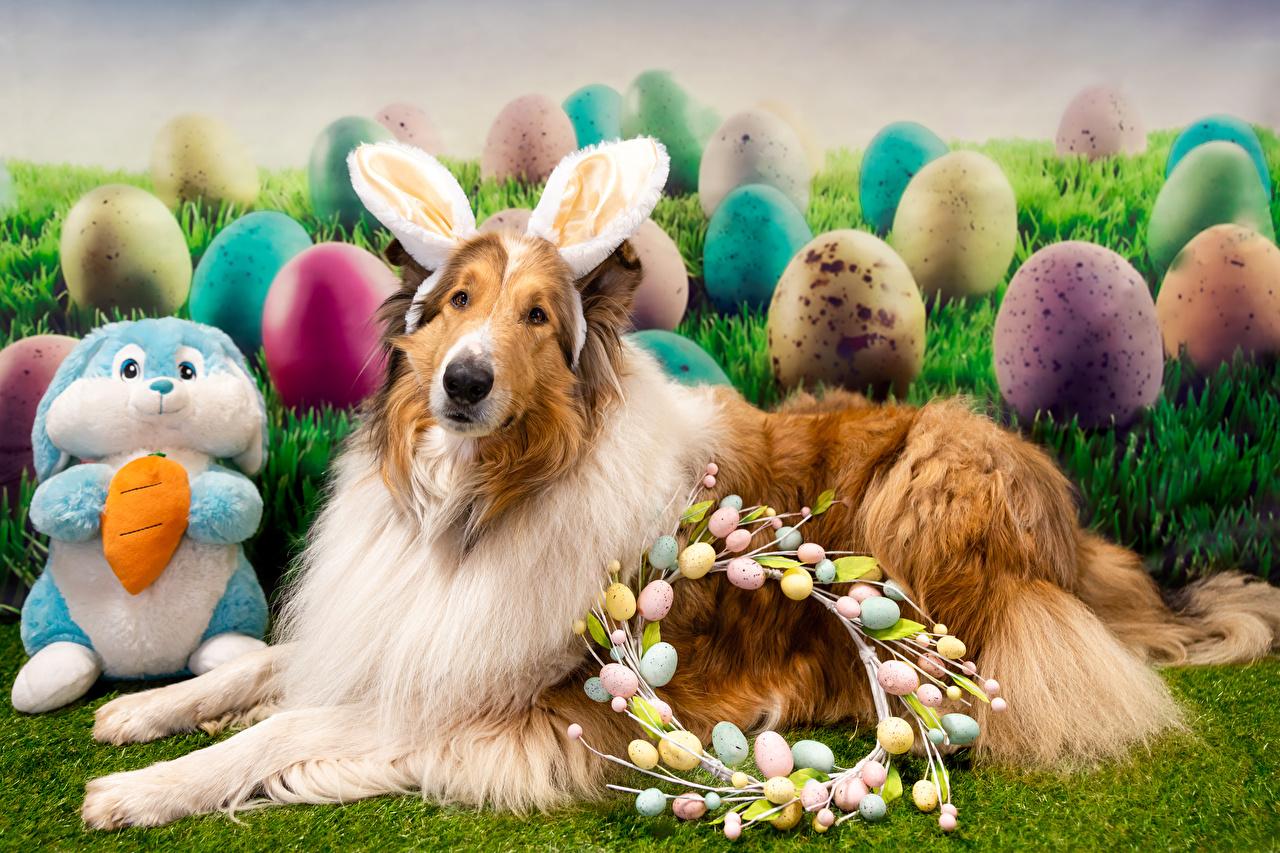 Картинка Пасха Колли Собаки Кролики Ушки кролика яиц животное собака кролик яйцо Яйца яйцами Животные