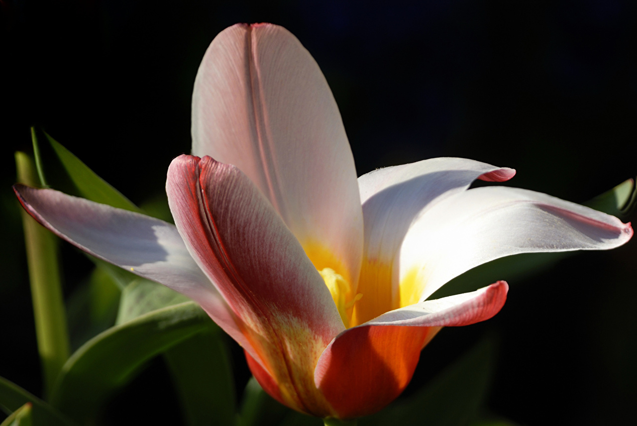 Фотография лилия Лепестки цветок Крупным планом Лилии лепестков Цветы вблизи