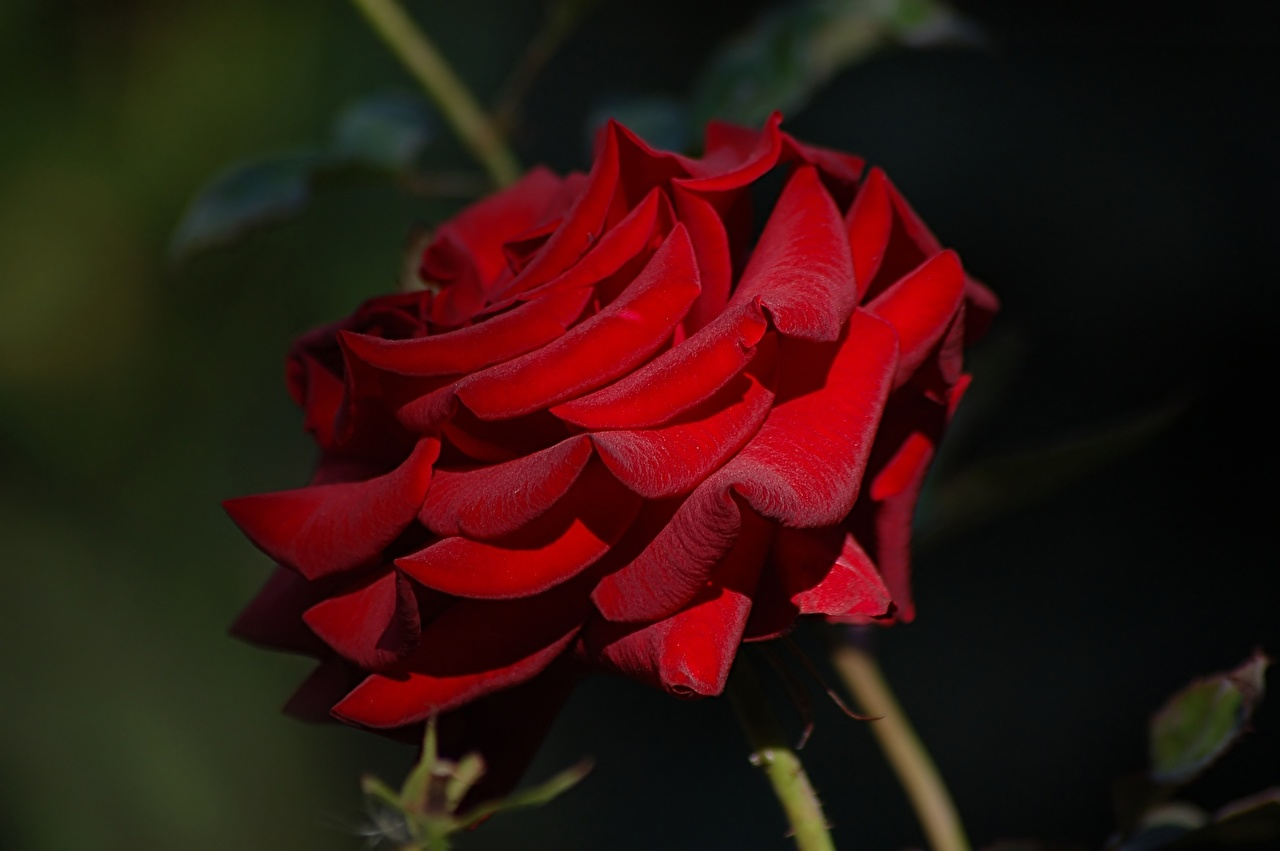 Обои для рабочего стола Розы красных цветок Крупным планом роза Красный красная красные Цветы вблизи