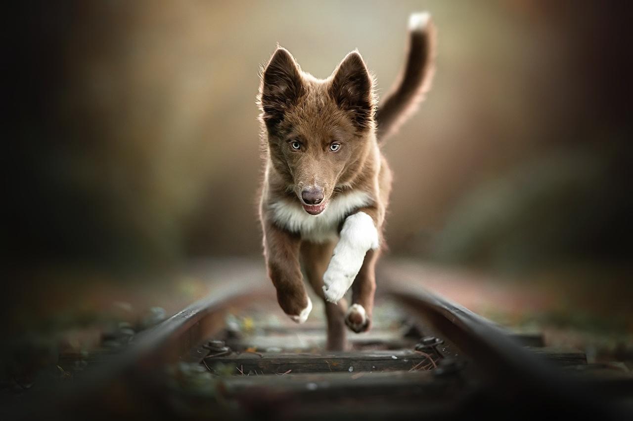 Фотографии Собаки бежит Рельсы Размытый фон Железные дороги животное собака Бег бегущая бегущий рельсах боке Животные