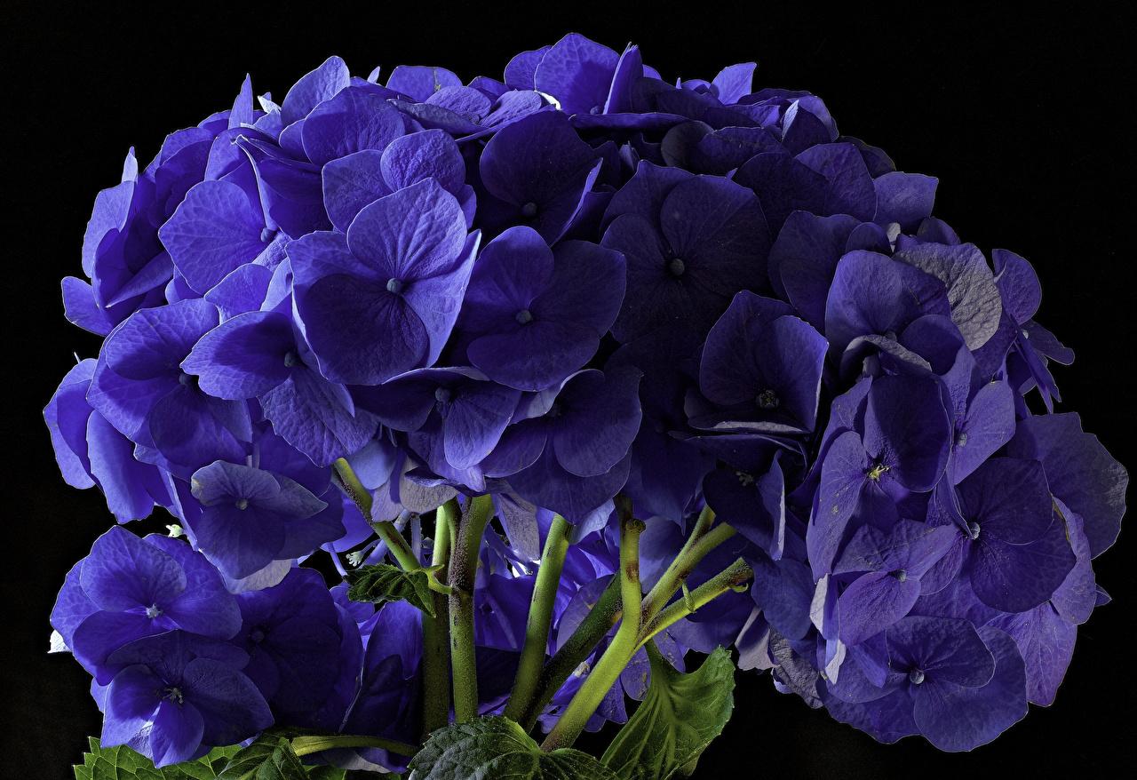 Картинки Синий Цветы Гортензия вблизи Черный фон синих синие синяя на черном фоне Крупным планом