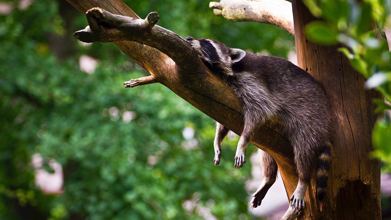 Фото Еноты лежат спят отдыхает Лапы ветка животное лежа Лежит лежачие сон Спит Отдых релакс спящий лап ветвь Ветки на ветке Животные