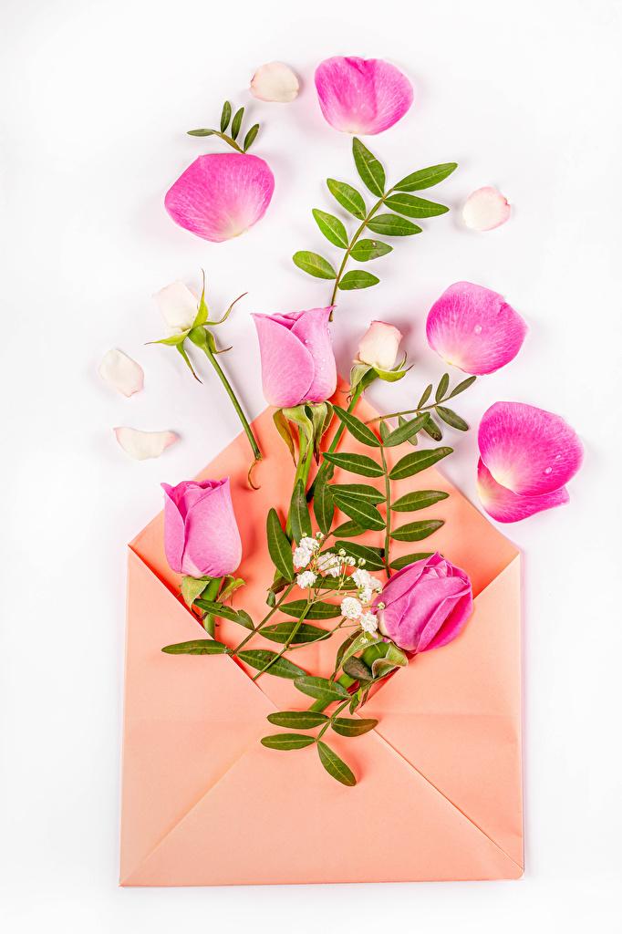 Картинка Конверт роза Розовый Лепестки цветок белым фоном  для мобильного телефона Розы розовая розовые розовых лепестков Цветы Белый фон белом фоне