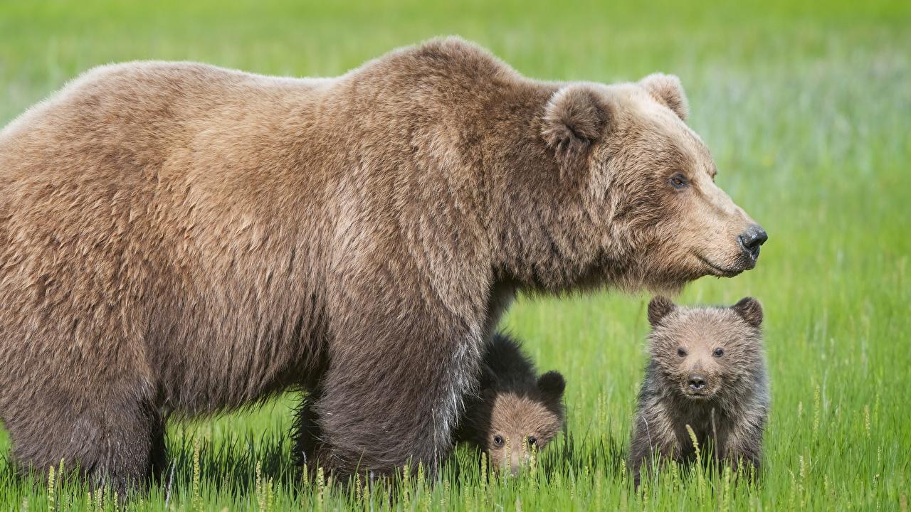 Фотографии Бурые Медведи медведь Детеныши Трое 3 животное Гризли Медведи три втроем Животные