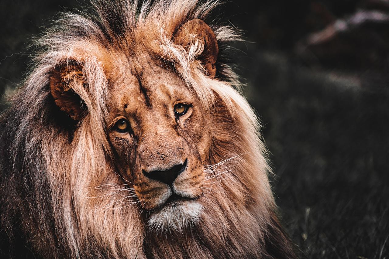 Обои для рабочего стола лев вблизи Голова смотрит Животные Львы головы Взгляд смотрят животное Крупным планом