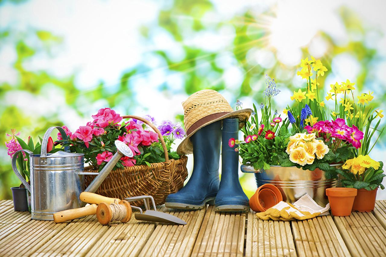 Картинки Сапоги Шляпа Цветы Примула Нарциссы Маргаритка Доски Первоцвет