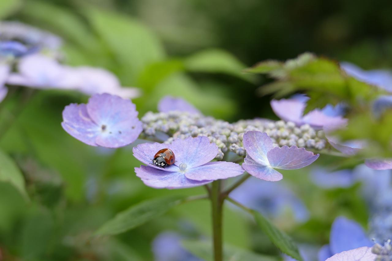 Фото Божьи коровки Насекомые Размытый фон Цветы Гортензия Крупным планом насекомое боке цветок вблизи