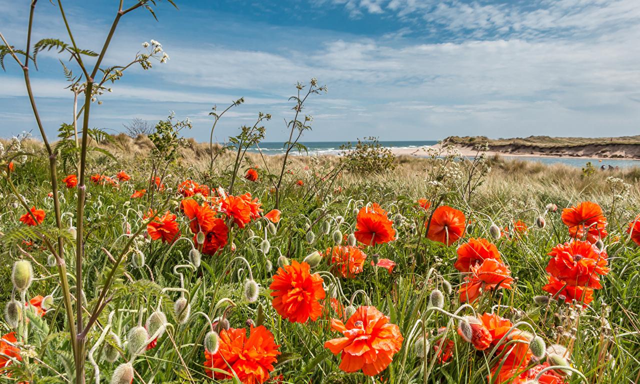 Картинки Англия Northumberland Alnmouth village Природа мак Побережье Бутон Маки берег