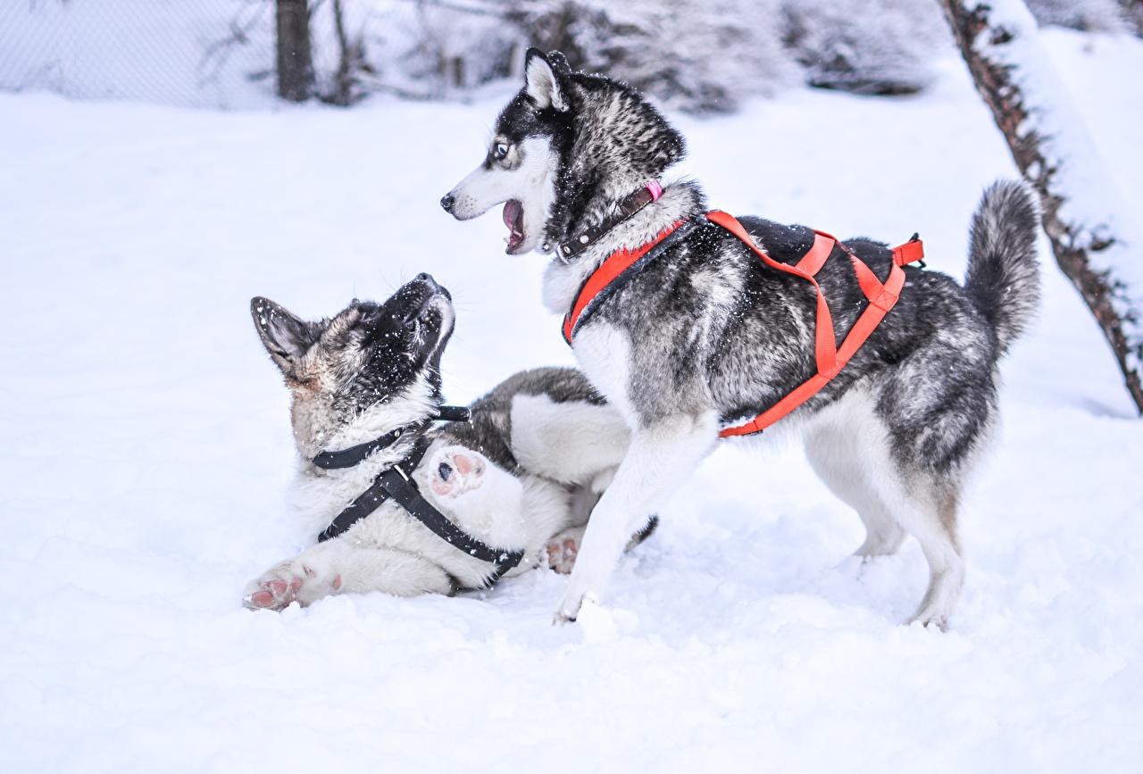 Обои для рабочего стола Хаски Собаки играют 2 зимние снегу животное собака Играет два две Зима Двое вдвоем Снег снега снеге Животные