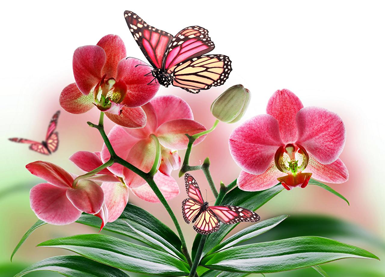 Картинка Данаида монарх Бабочки Орхидеи Цветы Крупным планом